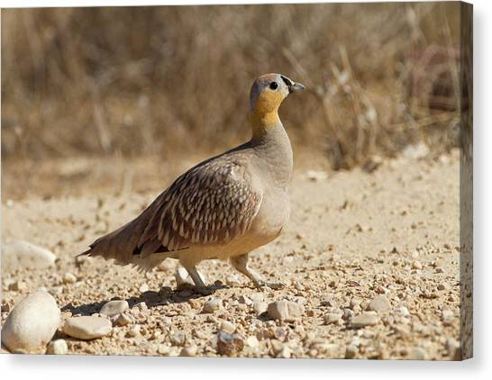 Negev Desert Canvas Print - Crowned Sandgrouse (pterocles Coronatus) by Photostock-israel