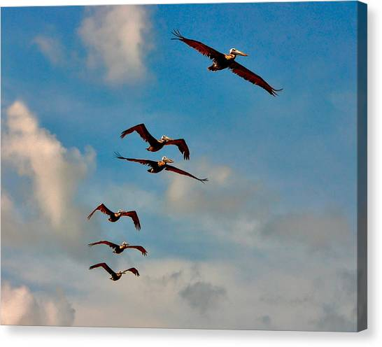 Cruising Pelicans. Melbourne Shores. Canvas Print