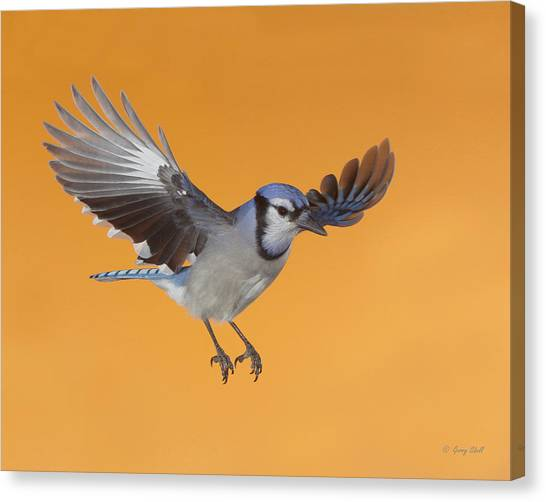 Cruising The Backyard Canvas Print by Gerry Sibell