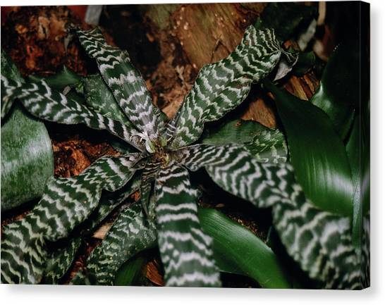 Bromeliad Canvas Print - Cryptanthus Fosterianus Leaves by Dan Sams/science Photo Library