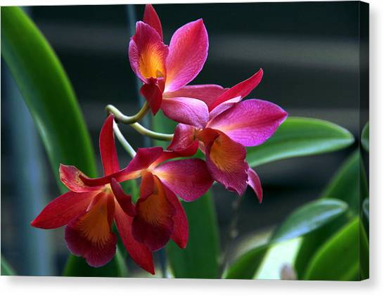 Ctna New River Orchid Canvas Print