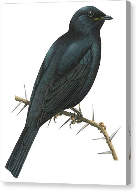 Cuckoo Canvas Print - Cuckoo Shrike by Anonymous