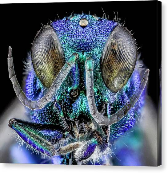 Cuckoos Canvas Print - Cuckoo Wasp by Us Geological Survey