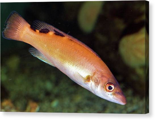 Cuckoos Canvas Print - Cuckoo Wrasse by Dr Keith Wheeler/science Photo Library