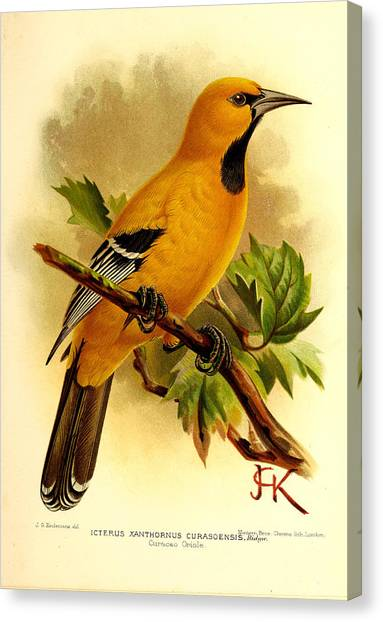 Orioles Canvas Print - Curacao Oriole by Dreyer Wildlife Print Collections