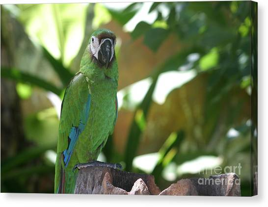 Curacao Parrot Canvas Print