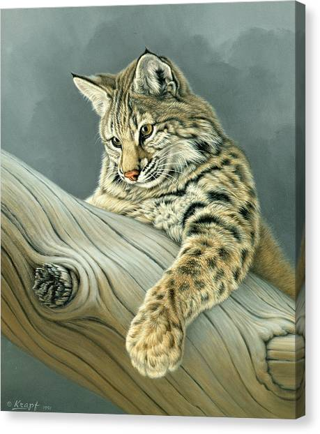 Kittens Canvas Print - Curiosity - Young Bobcat by Paul Krapf