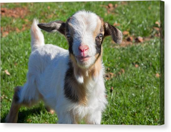 Curious Baby Goat Canvas Print