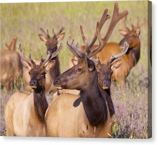 Curious Bull Elk Canvas Print