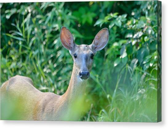 Curious Doe Canvas Print