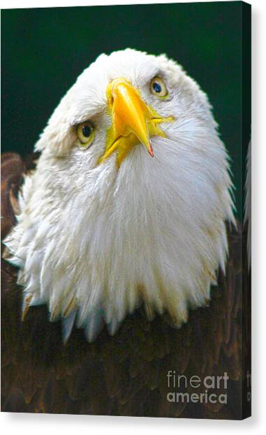 Curious Eagle Canvas Print