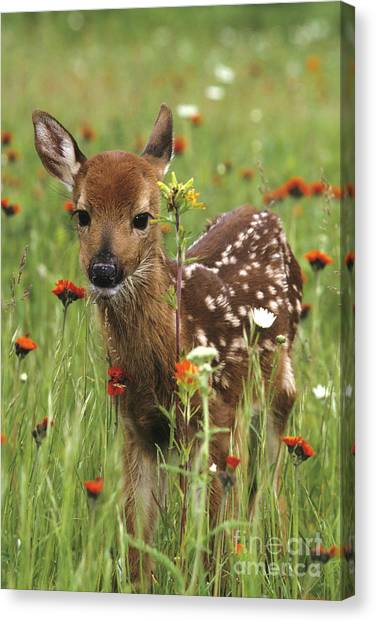 Curious Fawn Canvas Print