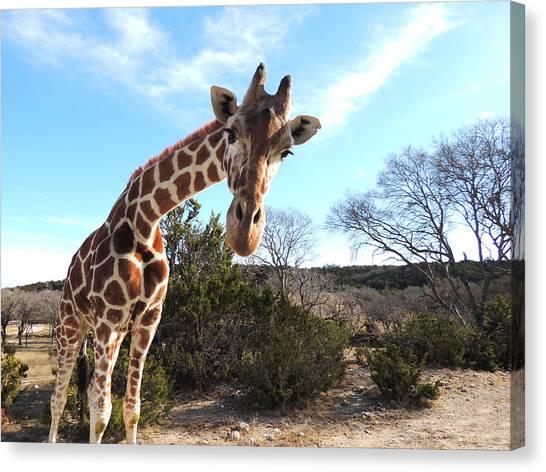 Curious Giraffe At Fossil Rim Wildlife Center Canvas Print