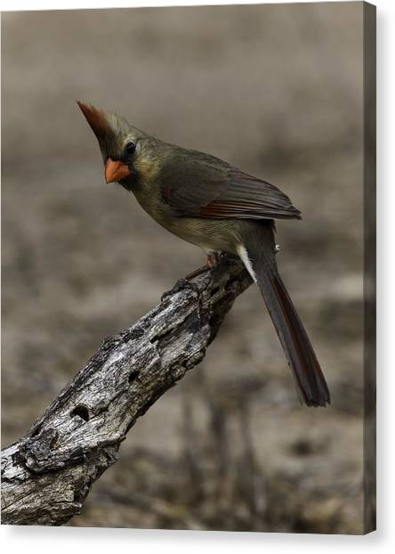 Curious Pyrrhuloxia Canvas Print