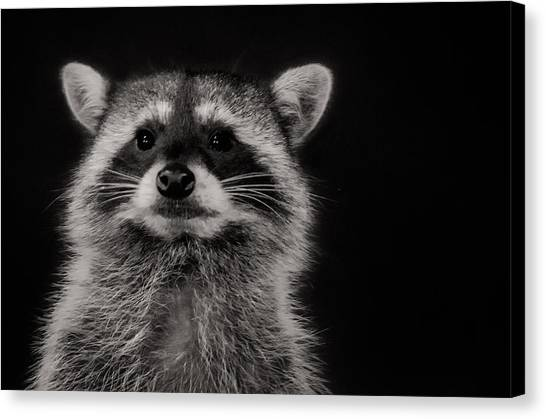 Curious Raccoon Canvas Print