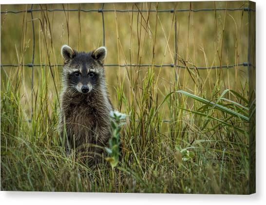 Curious Raccoon Canvas Print