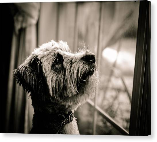 Schnauzers Canvas Print - Curious Schnoodle by Jon Woodhams