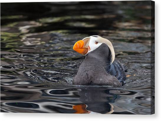 Curious Tufted Puffin Canvas Print