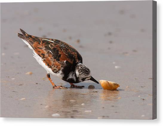 Curious Turnstone Canvas Print