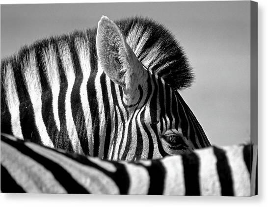 Curious Zebra Canvas Print by Marc Pelissier