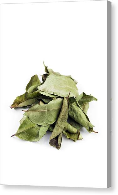 Knockout Canvas Print - Curry Leaves by Geoff Kidd/science Photo Library