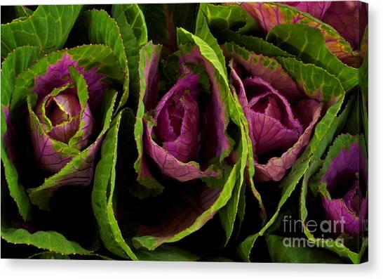 Cute Cabbage Canvas Print by Jolanta Meskauskiene