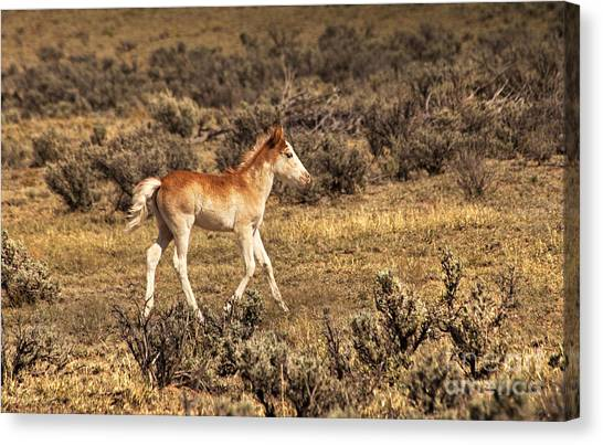 Cute Colt Wild Horse On Navajo Indian Reservation  Canvas Print