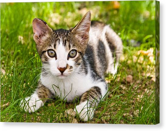 Cute Kitty In The Grass Canvas Print by Cristina-Velina Ion