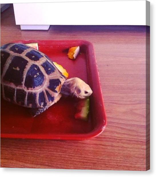 Tortoises Canvas Print - Cute Tortoise Eating #tortoise #beijing by Divi Ghosh