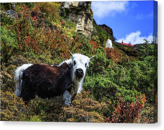 Yak Canvas Print - Cute Yak, Sagarmatha National Park by Feng Wei Photography
