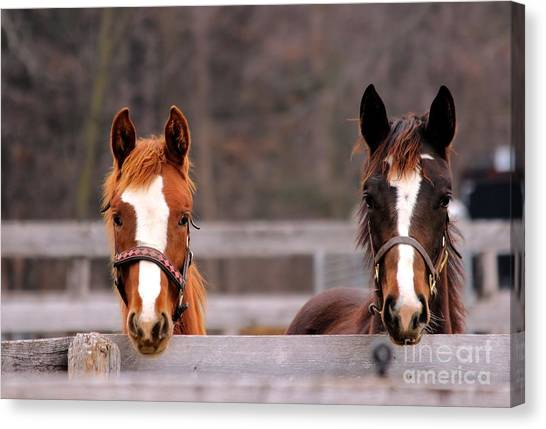Cute Yearlings Canvas Print
