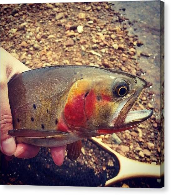 Fly Fishing Canvas Print - Cutthroat Trout by Brittany  Springer