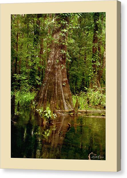Cypress Roots Ichetucknee Canvas Print by Linda Olsen