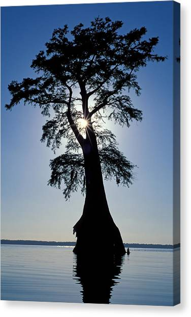 Great Dismal Canvas Print - Cypress Tree And Sunstar In Great Dismal Swamp by Kevin Adams