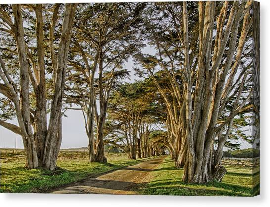 Cypress Tunnel Canvas Print by Robert Rus
