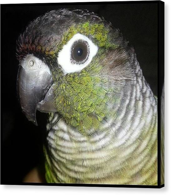 Parrots Canvas Print - Dad Is Making Me Pose For The Camera by Kevin Previtali