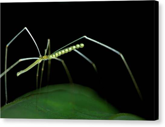 Cellar Canvas Print - Daddy Long-legs Spider by Melvyn Yeo