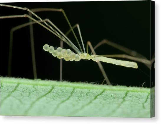 Cellar Canvas Print - Daddy Long Legs Spider With Eggs by Melvyn Yeo