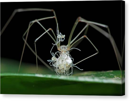 Cellar Canvas Print - Daddy Long-legs Spider With Spiderlings by Melvyn Yeo
