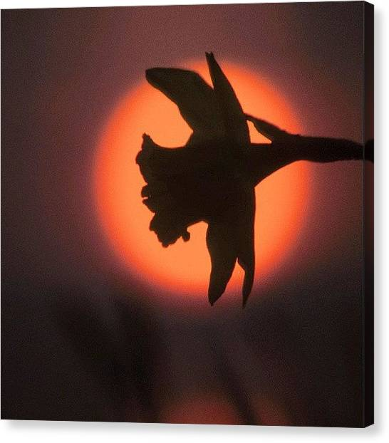 Metallic Canvas Print - Daffodil Against A Sunset.  by Tony Webb