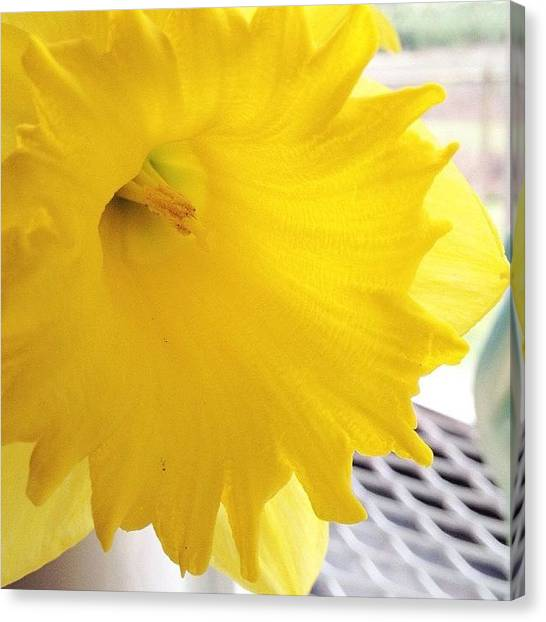 Flowers Canvas Print - Daffodil by Blenda Studio