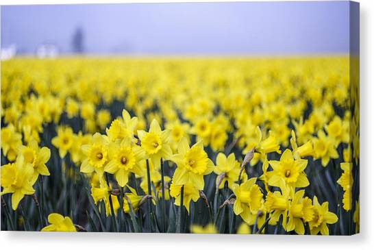 Daffodil Blur Canvas Print