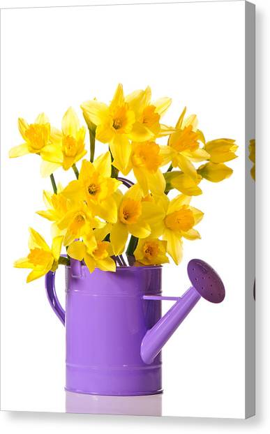 Daffodils Canvas Print - Daffodil Display by Amanda Elwell