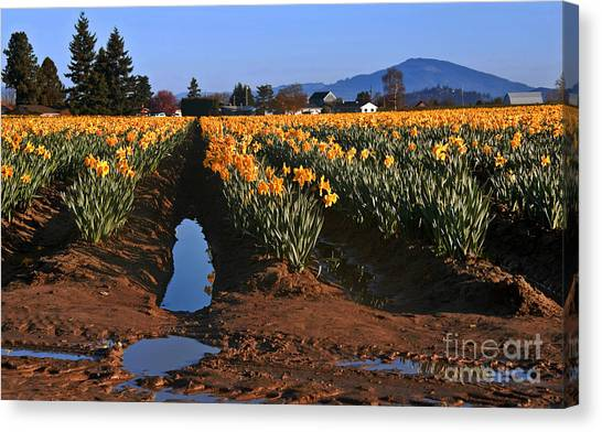 Daffodil Field After A Spring Rain Canvas Print