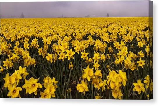 Daffodil Fields Of Fog Canvas Print