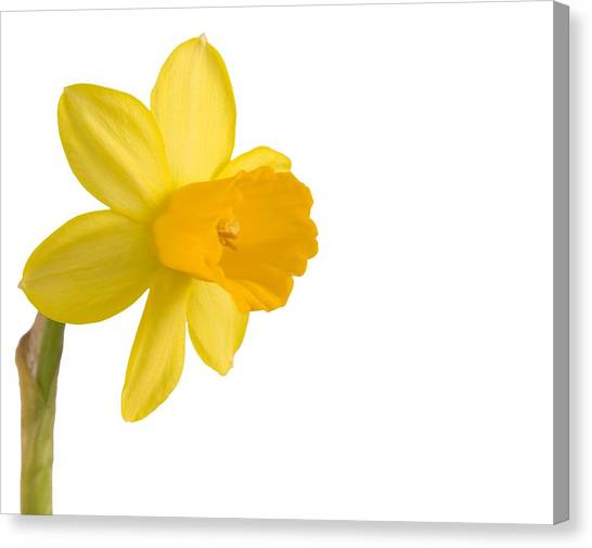 Daffodil Flower Isolated On White Canvas Print by Anna Kaminska