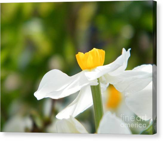 Georgia State University Canvas Print - Daffodil In Profile by Cheryl Hardt Art
