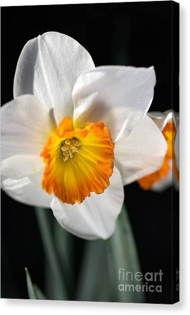 Daffodil In White Canvas Print