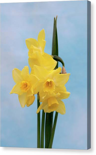 Daffodil (narcissus 'quail') Canvas Print by Brian Gadsby/science Photo Library