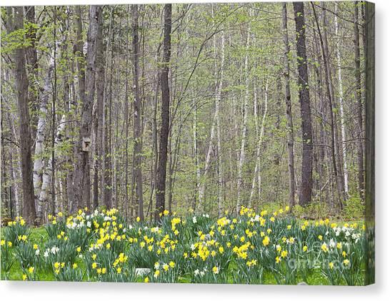 Daffodil Woods Canvas Print